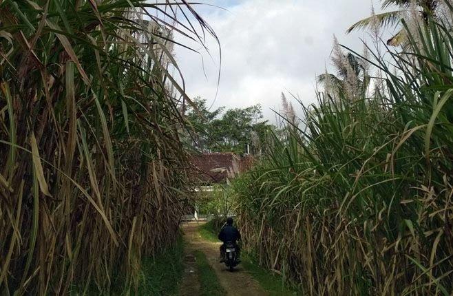 gula-impor-banjiri-pasaran-petani-tebu-malang-sekarat_c_232176