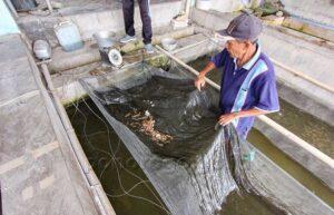 Pandemi-Permintaan-Benih-Ikan-untuk-Kolam-Rumahan-Meningkat-4-1080x694