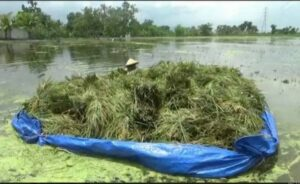 tanaman-padi-terendam-banjir-sungai-avur-petani-di-tuban-panen-dini-wkh