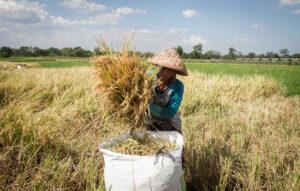 Petani memasukan hasil panen padi ke dalam karung di desa Sudimoro, Boyolali, Jawa Tengah, Kamis (1/10/2020).