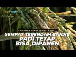 Panen Padi Hasil Aplikasi Pupuk Organik Cair
