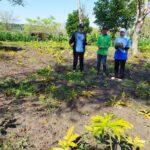 Aroma Pengembangan Kawasan Porang Mulai Menggeliat di Kabupaten Lamongan